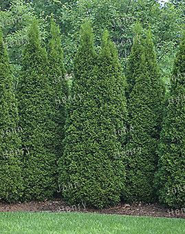4-5 ft. Emerald Cedar Tree
