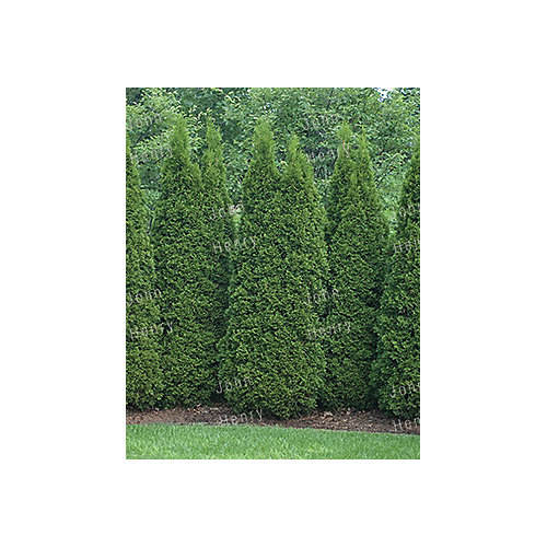 4-5 ft. Emerald Cedar Tree