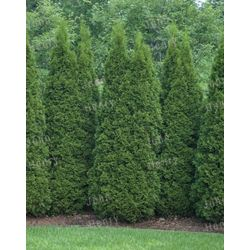 Vigoro 4-5 ft. Emerald Cedar Tree