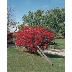 Landscape Basics 3 Gal. (11L) Burning Bush (Assorted)