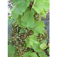 Plante à Fruit 8 po Vignes à Raisin Assortis