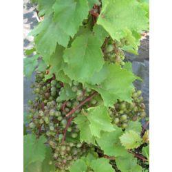 Landscape Basics 8-inch Grape Vine Fruit Plant
