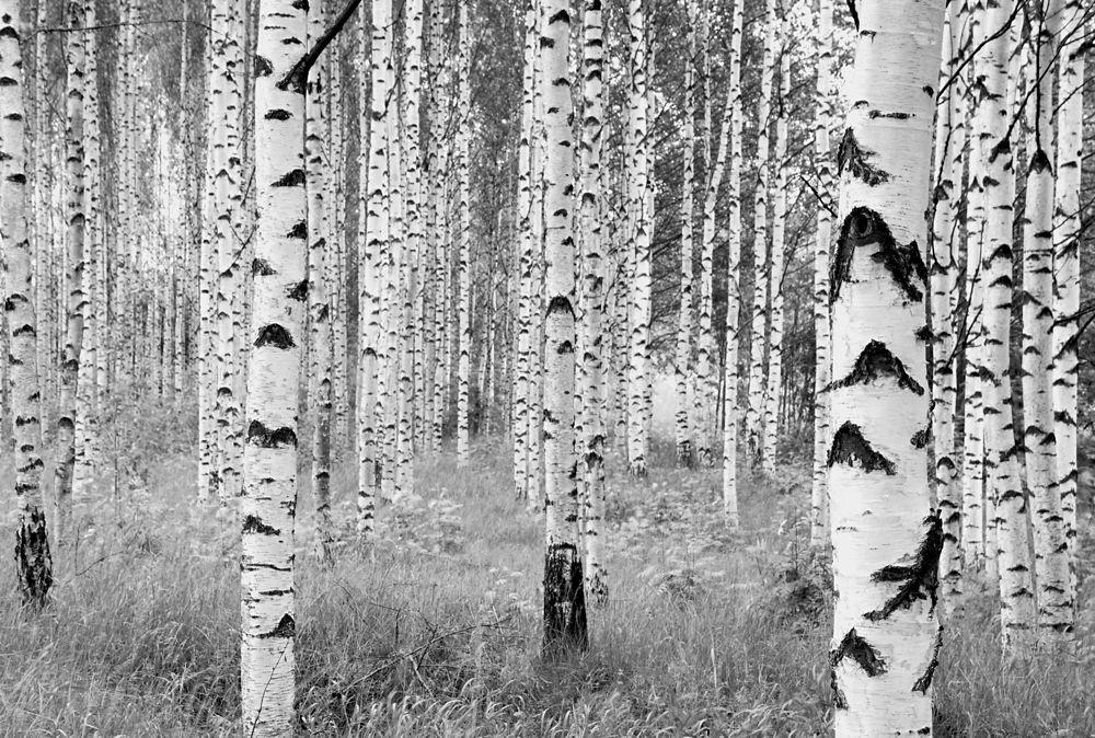 Komar Birch Forest Wall Mural