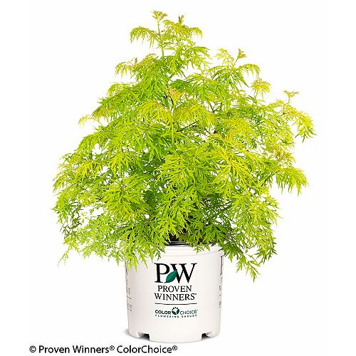 Proven Winners Lemony Lace Elderberry Bush