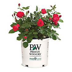 PW Rosa Oso Easy Double Red