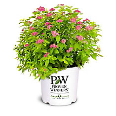PW Spirea Double Play Gold