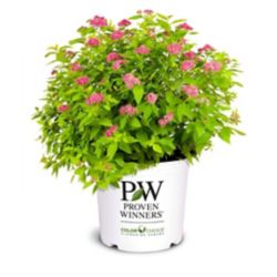 Proven Winners PW Spirea Double Play Gold