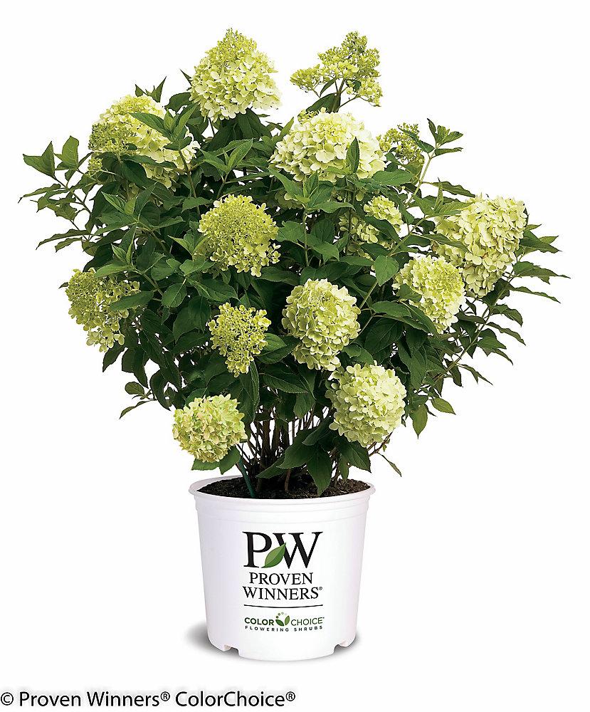 PW Hydrangea Limelight