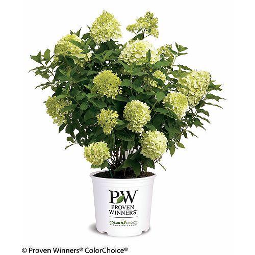 Proven Winners PW Hydrangea Limelight