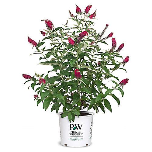 PW Butterfly Bush Miss Molly