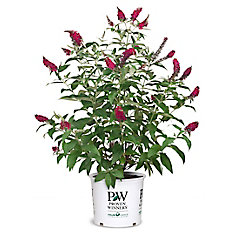 PW Butterfly Bush Miss Molly