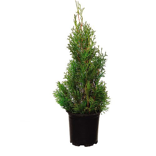 Landscape Basics 2 Gallon Brandon Cedar