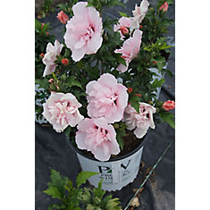 8-inch Roses of Sharon Shrub