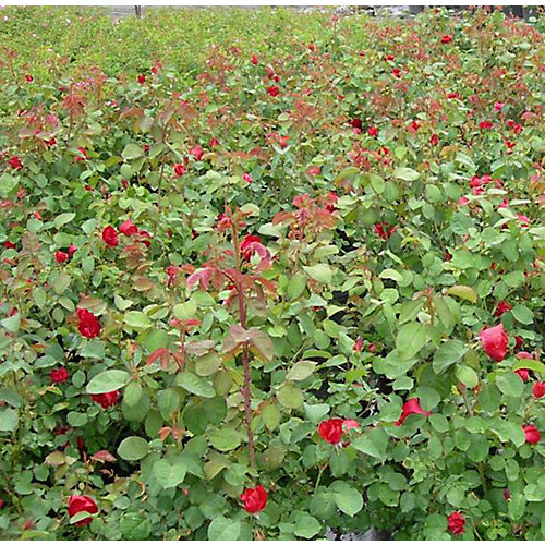 8-inch Vigoro Explorer Roses Shrub