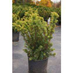 Landscape Basics 6-inch Yew Shrub (Assorted)