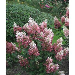 Landscape Basics 12-inch Proven Winners Paniculata Standard Tree