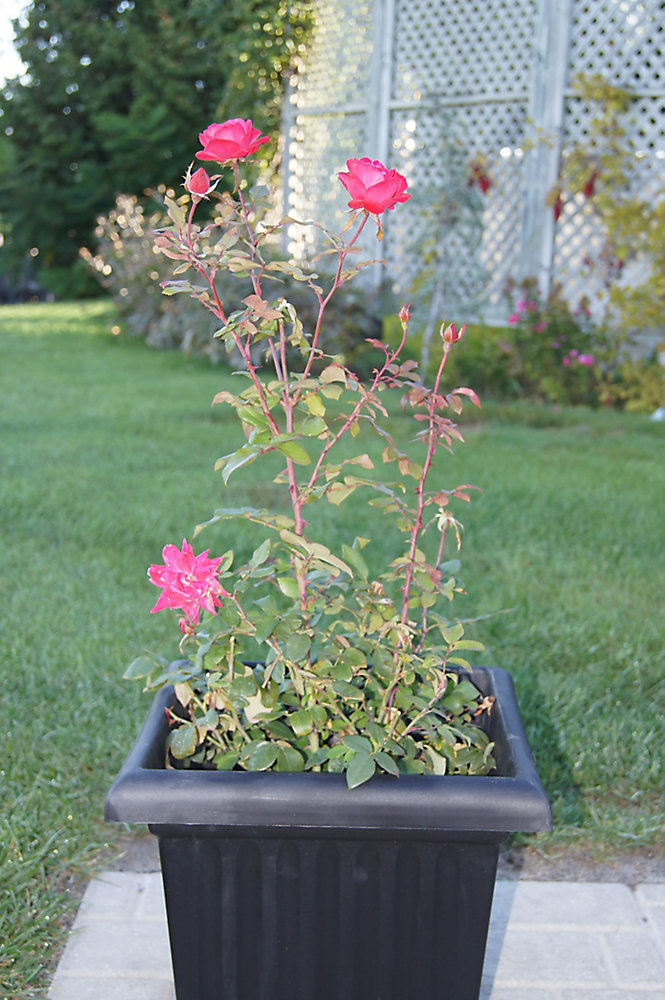 12-inch Vigoro Climbing Roses Vine