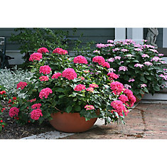 8-inch Proven Winners Macrophylla Shrub