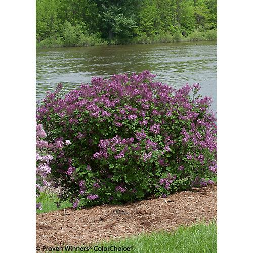 8-inch Lilac Shrub