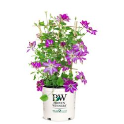 Proven Winners PW Clematis Viva Polonia