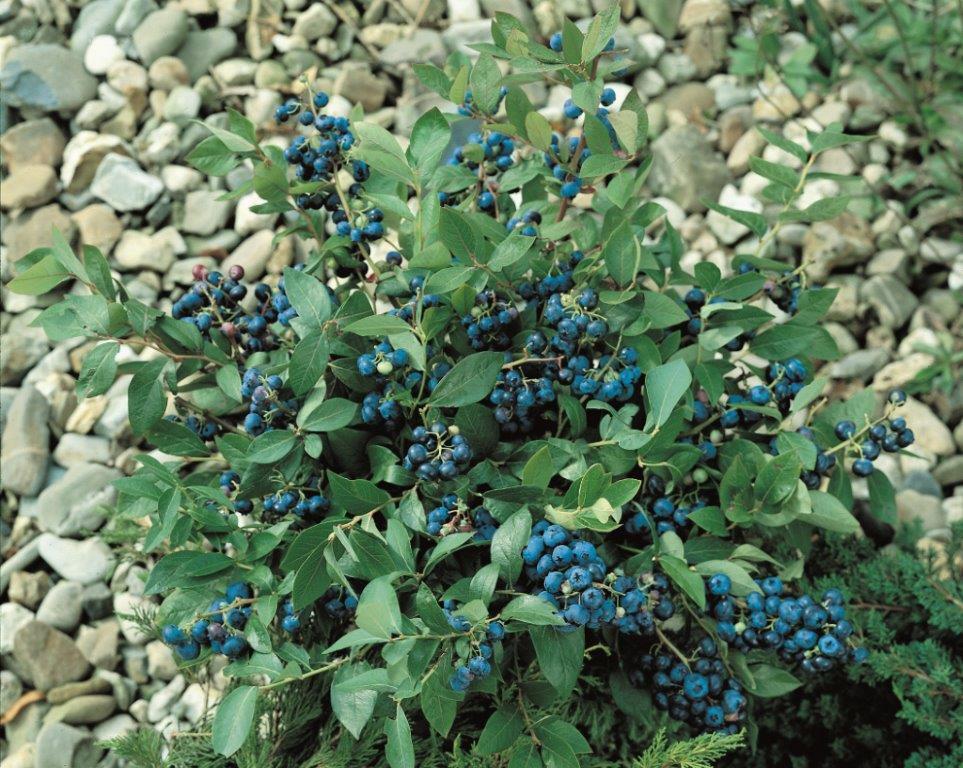 landscape basics 2 in 1 blueberry planter the home depot canada. Black Bedroom Furniture Sets. Home Design Ideas