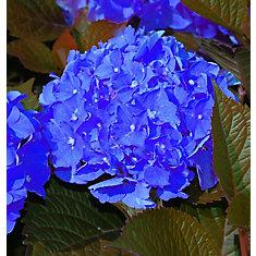 Hortensia Niko Blue, 2 gallons