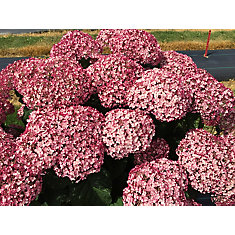 PW Hydrangea Incrediball Blush