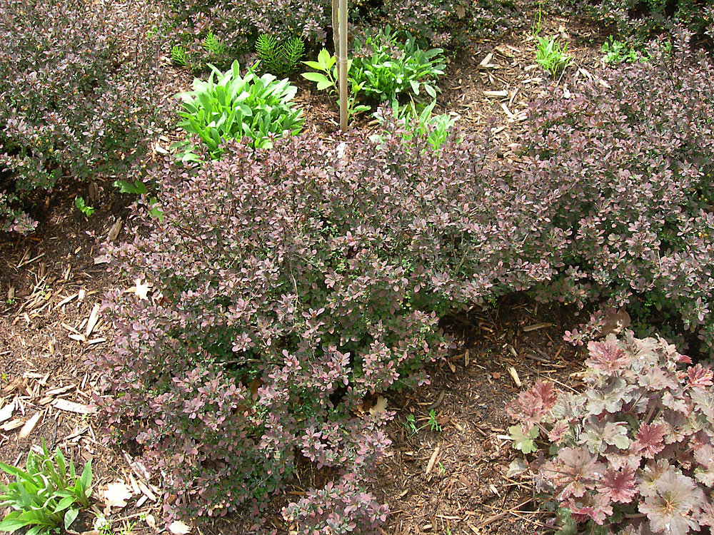 12-inch Barberry Shrub (Assorted)