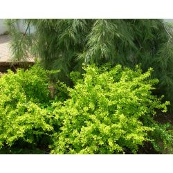 Landscape Basics 8-inch Yellow Barberry Shrub