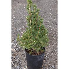 Arbuste 12 po Conica