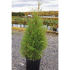 Arbuste 10 po Occidentalis