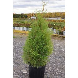 Landscape Basics Eastern White Cedar Shrub