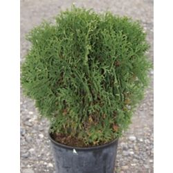 Landscape Basics 6-inch Cedar Shrub (Assorted)