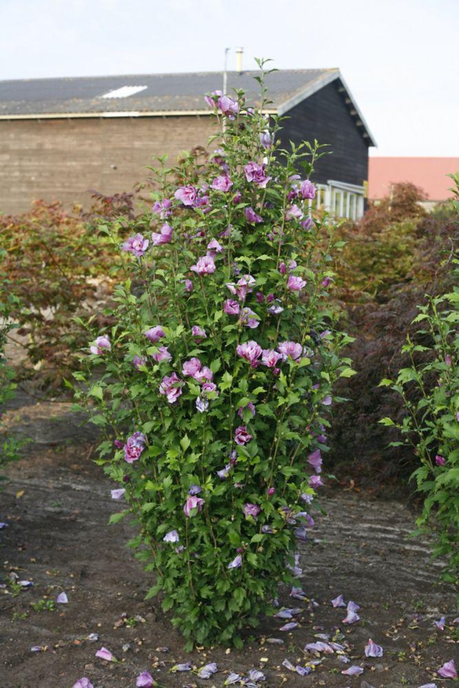Proven Winners Hibiscus Purple Pillar De Pw Home Depot Canada