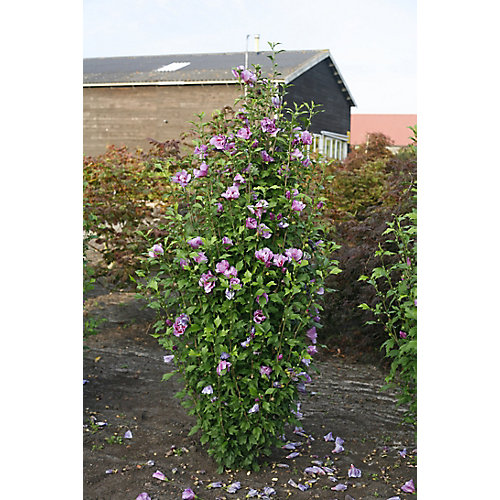 PW Hibiscus Purple Pillar