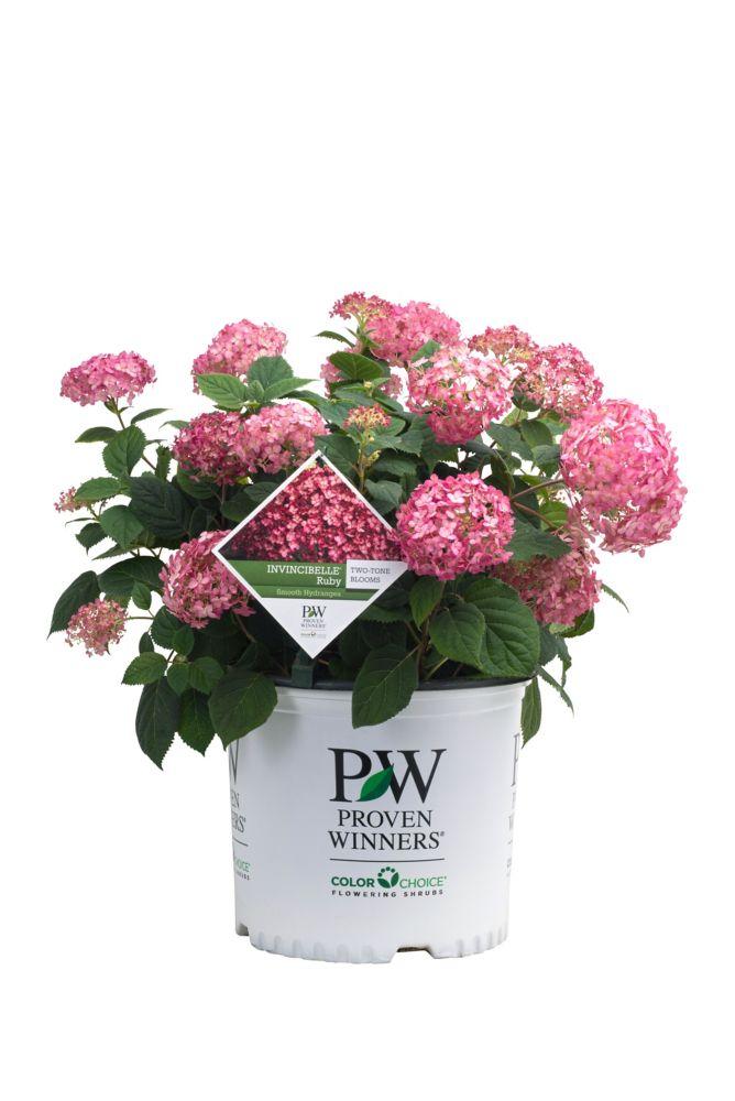 PW Hydrangea Invincibelle Ruby