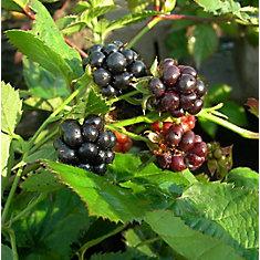 Plante à Fruit 8 po Muriers Assortis