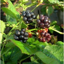 Landscape Basics 8-inch Blackberry Fruit Plant (Assorted)