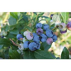 Plante à fruit 12 po Bleuets Assortis
