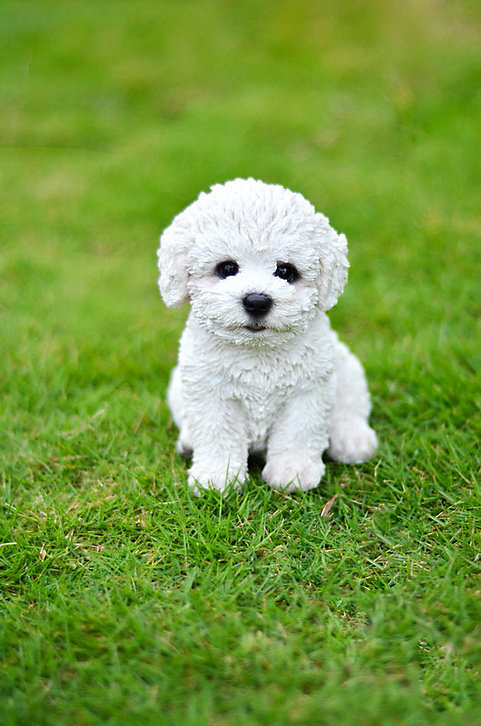 Sitting Bichon Frise Puppy