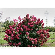 Hortensia Fire Light De PW 5 g