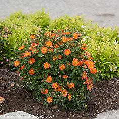PW Rosa Paprika 8 inch