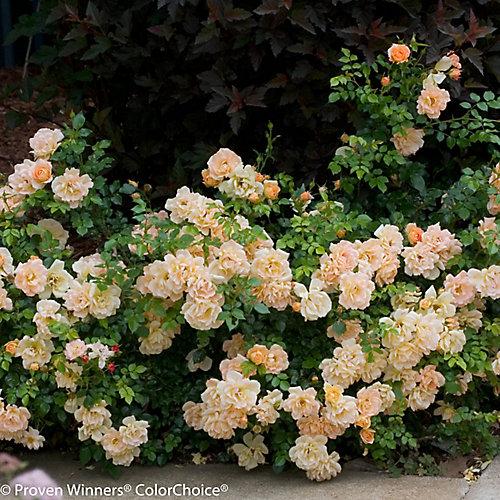 PW Rosa Peachy Cream 8 inch