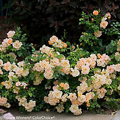 PW Rosa Peachy Cream 8 inch