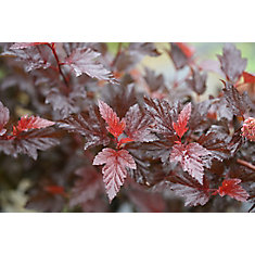 PW Physocarpus Ginger Wine 8 inch