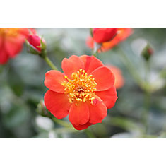 PW Rosa Hot Paprika 8 inch