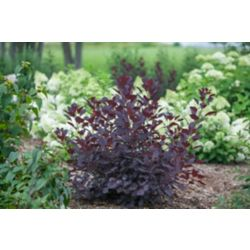 Proven Winners PW Cotinus Winecraft Black 8 inch