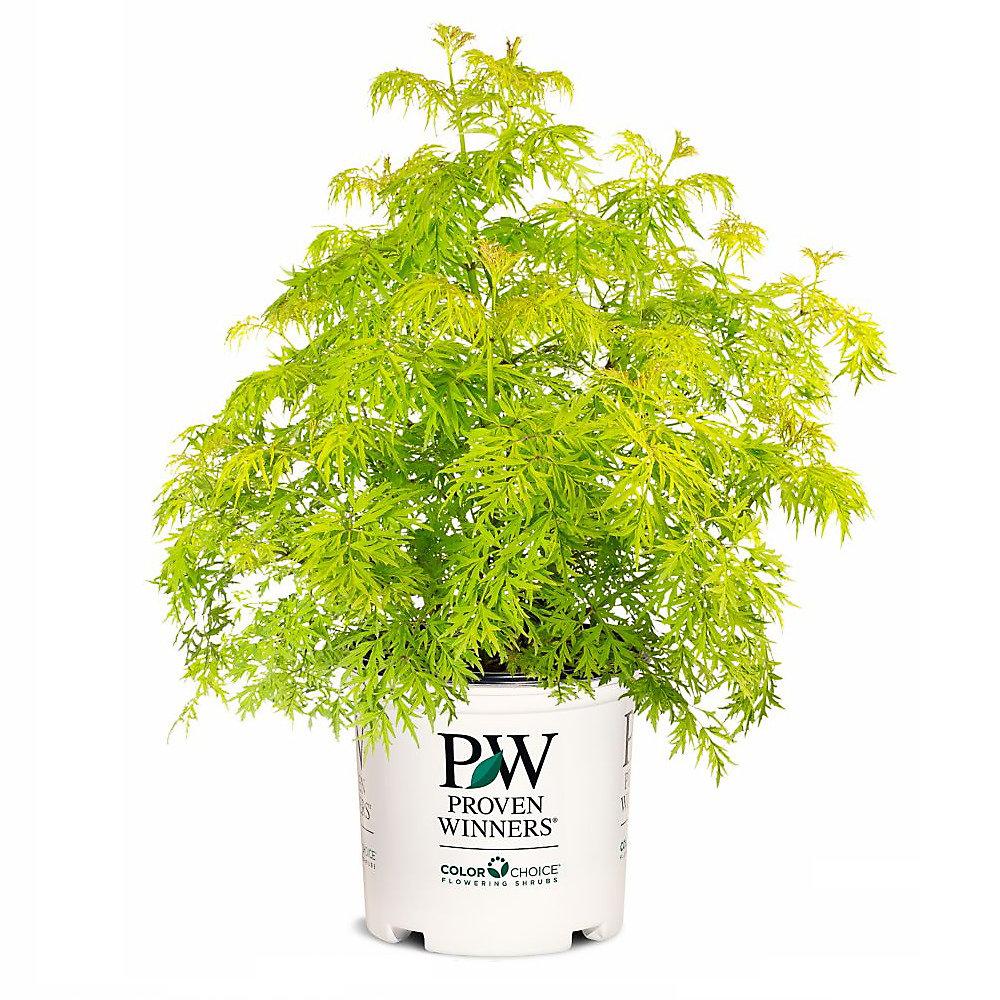 PW Hydrangea Invincibelle Wee-White 8 inch