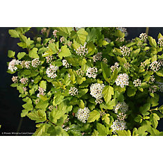 PW Physocarpus Tiny Wine Gold 8 inch