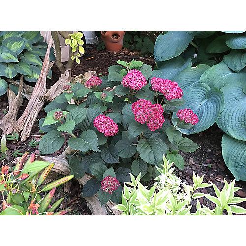 PW Hydrangea Invincibelle Ruby 8 inch